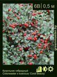 Кизильник-гибридный--Cotoneaster-x-suecicus-'Coral-Beauty'