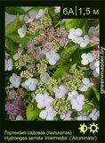 Гортензия-садовая-(пильчатая)-Hydrangea-serrata-'Intermedia'-('Acuminata')