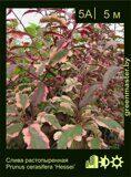 Слива-растопыренная-Prunus-cerasifera-'Hessei'