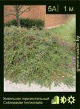 Кизильник-горизонтальный-Cotoneaster-horizontalis