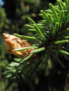 Ель-сербская-Picea-omorika