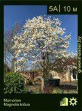 Магнолия-Magnolia-kobus