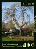 Ясень-обыкновенный-Fraxinus-excelsior-'Pendula'