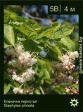 Клекачка-перистая-Staphylea-pinnata