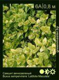 Самшит-вечнозеленый-Buxus-sempervirens-'Latifolia-Maculata'