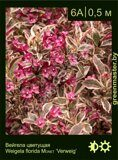 Вейгела-цветущая-Weigela-florida-MONET-'Verweig'