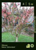 Яблоня-Malus-'Adirondack'