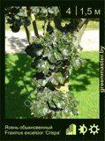 Ясень-обыкновенный-Fraxinus-excelsior-'Crispa'