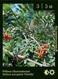 Рябина-обыкновенная-Sorbus-aucuparia-'Pendula'