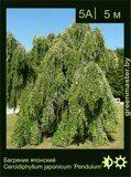 Багряник-японский-Cercidiphyllum-japonicum-'Pendulum'