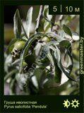 Груша-иволистная-Pyrus-salicifolia-'Pendula'