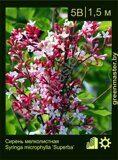 Сирень-мелколистная-Syringa-microphylla-'Superba'
