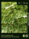 Клен-остролистный-Acer-platanoides-'Drummondii'