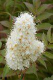 sorbaria-sorbifolia-sem-