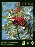 Рябина-обыкновенная-Sorbus-aucuparia