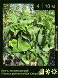Ясень-пенсильванский-Fraxinus-pennsylvanica-'Crispa'