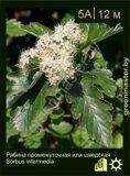 Рябина-промежуточная-или-шведская-Sorbus-intermedia