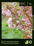 Вишня-мелкопильчатая-Prunus-serrulata-'Kanzan'-1