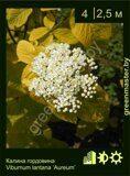 Калина-гордовина-Viburnum-lantana-'Aureum'