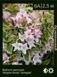 Вейгела-цветущая-Weigela-florida-'Variegata'
