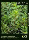 Форзиция-зеленейшая-Forsythia-viridissima-'Kumson'