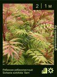 Рябинник-рябинолистный-Sorbaria-sorbifolia-'Sem'
