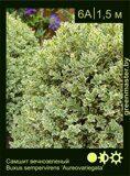 Самшит-вечнозеленый-Buxus-sempervirens-'Aureovariegata'
