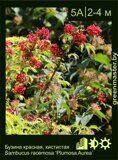 Бузина-красная,-кистистая-Sambucus-racemosa-'Plumosa-Aurea'