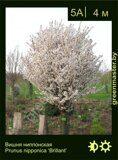 Вишня-ниппонская-Prunus-nipponica-'Brillant'