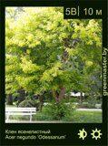 Клен-ясенелистный-Acer-negundo-'Odessanum'