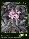 Бузина-черная-Sambucus-nigra-Black-Beauty-'Gerda'