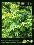 Клен-ложноплатановый-Acer-pseudoplatanus-'Worley'
