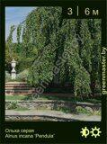 Ольха-серая-Alnus-incana-'Pendula'