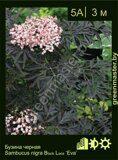 Бузина-черная-Sambucus-nigra-Black-Lace-'Eva'