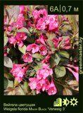 Вейгела-цветущая-Weigela-florida-MINOR-BLACK-'Verweig-3'