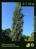 Осина-дрожащая-Populus-tremula-'Erecta'
