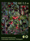 Кизильник-иволистный-Cotoneaster-salicifolius-'Parkteppich'