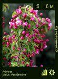 Яблоня-Malus-'Van-Eseltine'