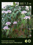Гортензия-колючая-Hydrangea-aspera-'Macrophylla'