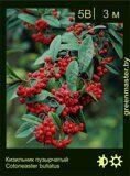 Кизильник-пузырчатый-Cotoneaster-bullatus