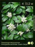 Пахизандра-верхушечная-Pachysandra-terminalis-'Green-Carpet'