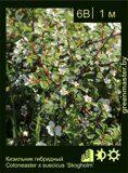 Кизильник-гибридный-Cotoneaster-x-suecicus-'Skogholm'