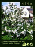 Калина-обыкновенная-(красная)-Viburnum-opulus-'Roseum'