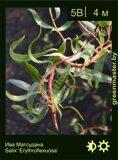 Ива-Матсудана-Salix-'Erythroflexuosa'
