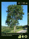 Ясень-обыкновенный-или-высокий-Fraxinus-excelsior-1