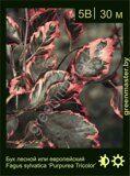 Бук-лесной-Fagus-sylvatica-'Purpurea-Tricolor'