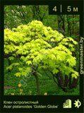 Клен-остролистный-Acer-platanoides-'Golden-Globe'