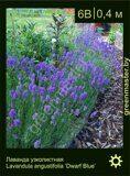 Лаванда-узколистная-Lavandula-angustifolia-'Dwarf-Blue'
