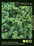 Самшит-вечнозеленый-Buxus-sempervirens-'Rotundifolia'