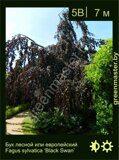 Бук-лесной-Fagus-sylvatica-'Black-Swan'